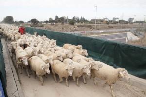Las ovejas bombero cruzando la M_50 para llegar a Boadilla del Monte