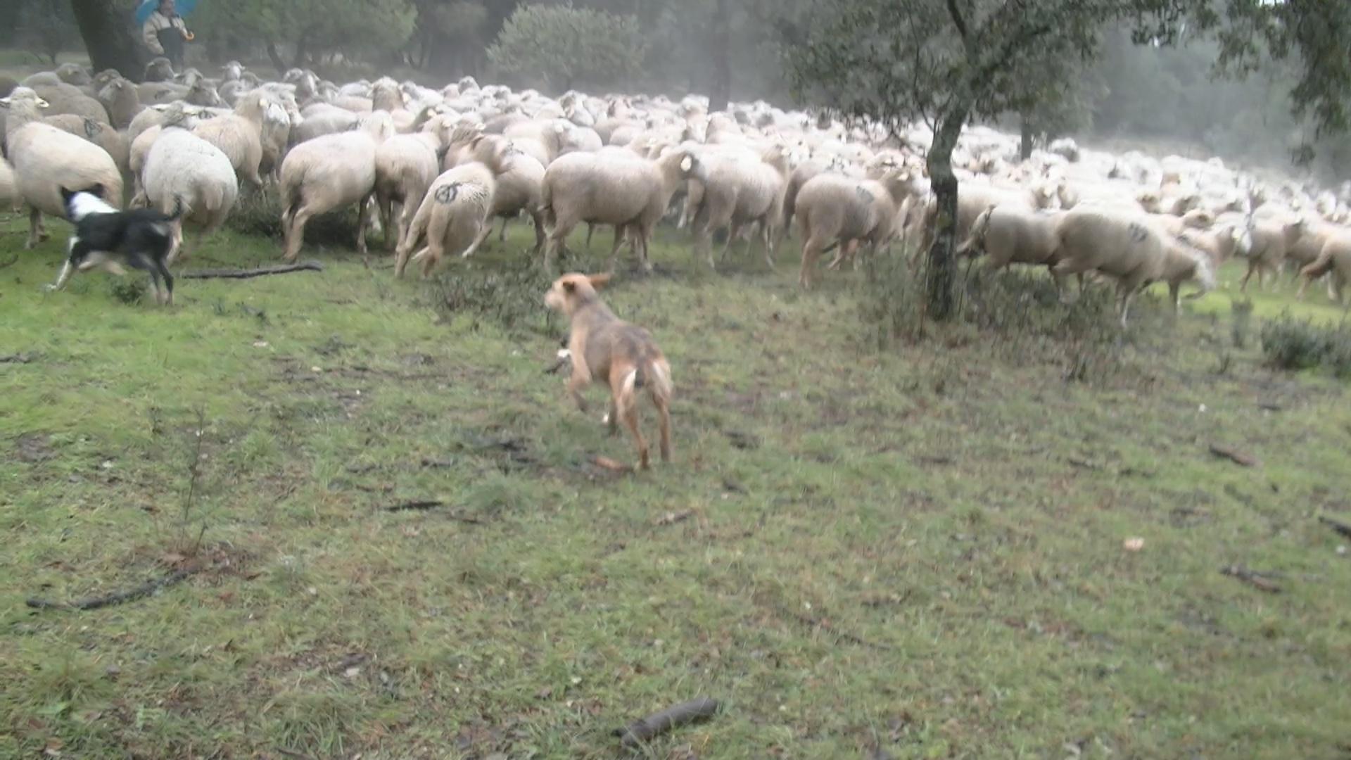 Las ovejas bombero cuidan el monte de Boadilla