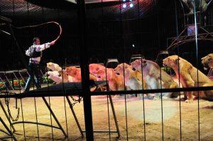 Leones en actuación de circo