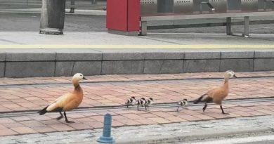 La Policía Local de Boadilla rescata a un grupo de aves acuáticas