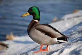 Ruta para ver las estrategias de las aves en invierno @ Aula Medioambiental | Boadilla del Monte | Comunidad de Madrid | España