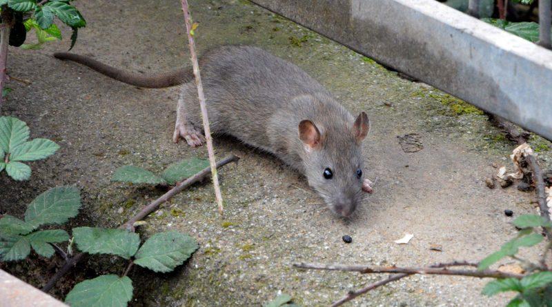 Plaga de ratas en algunos puntos de Boadilla