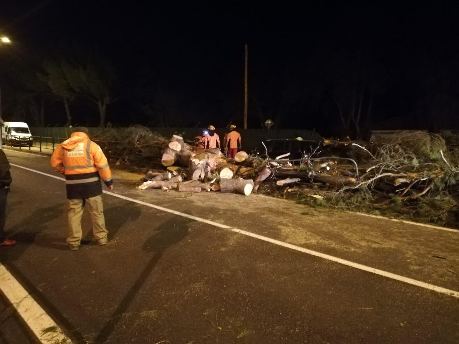 Pino Polideportivo de Boadilla. El árbol cayó sobre varios vehículos aparcados 2