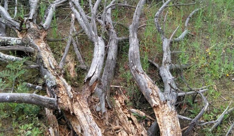 Arboles caídos y vegetación arbustiva seca