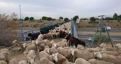ovejas-merinas-en-boadilla-municipio-amigo-de-la-trashumancia