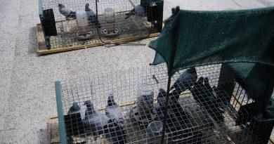 Campaña periódica de control de palomas 2019